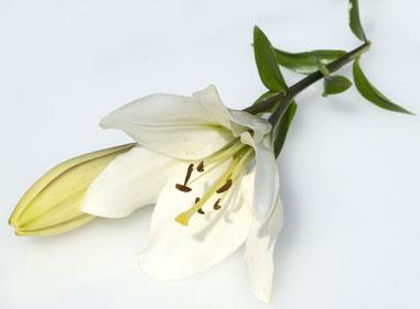 lilie weiße blüten